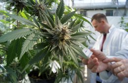 Estudos Cannabis