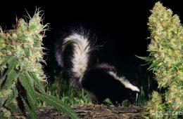Diferença Skunk e Maconha