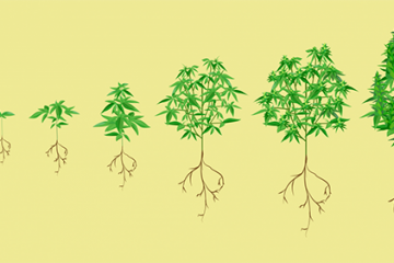 Ciclo de Crescimento da Cannabis