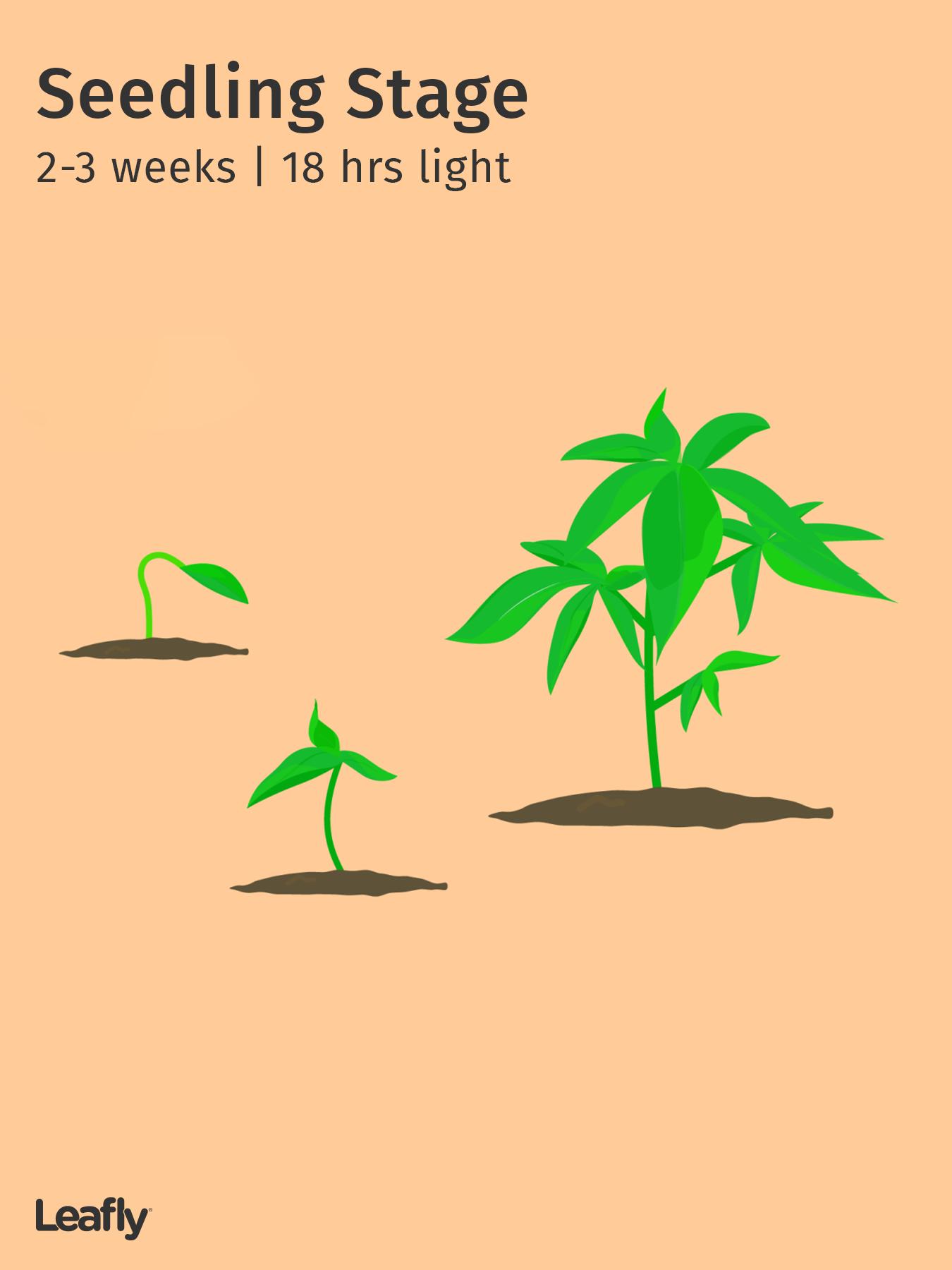 Crescimento da maconha