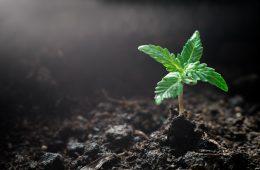 Terra para plantar maconha