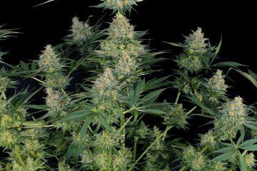 Blue Cheese strain