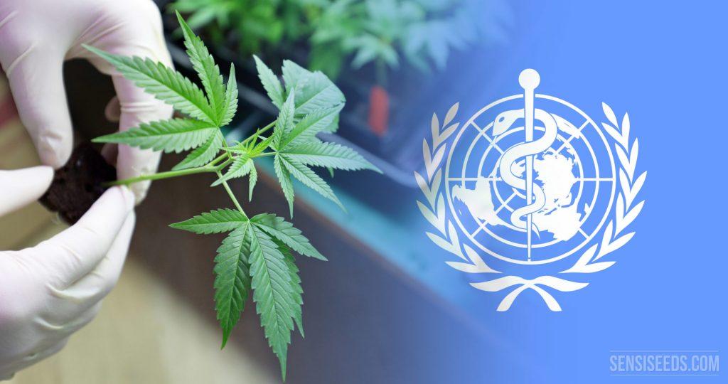 OMS e ONU reclassificam maconha como menos perigosa