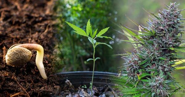 Ciclo da Cannabis