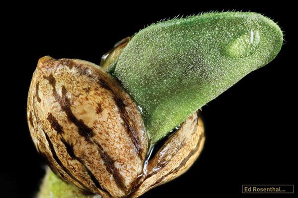 germinar semente de prensado