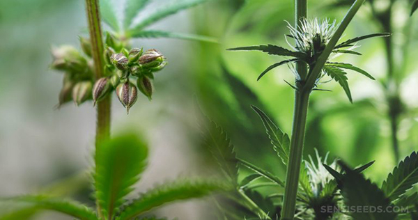 Macho x Fêmea Cannabis