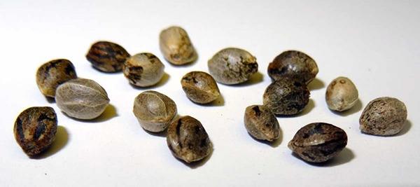 semente feminilizada