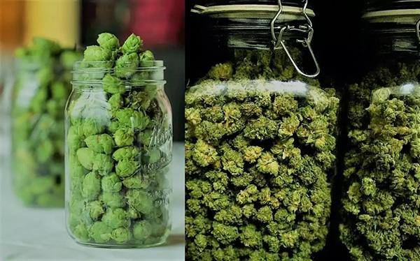 Estudos Universidades Cannabis Brasil