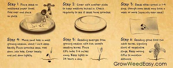 germinar semente de maconha no papel toalha