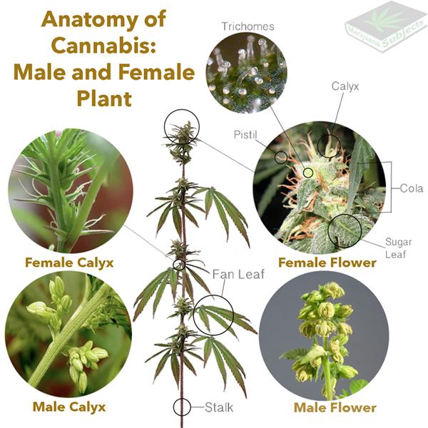 Planta da Cannabis