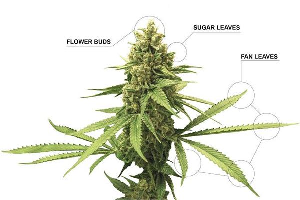 anatomia planta da maconha