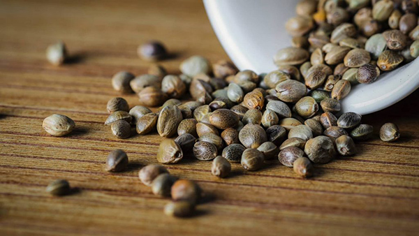 semente de cannabis